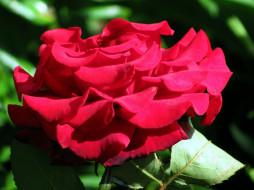 цветы, розы, макро