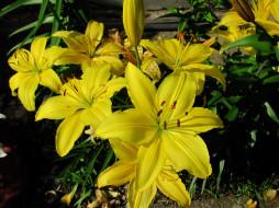цветы, лилии,  лилейники, желтые