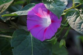 цветы, вьюнки,  ипомеи, лиловый, вьюнок, макро