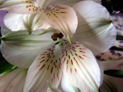 цветы, альстромерия, белая, макро