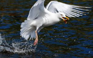 животные, чайки,  бакланы,  крачки, чайка, птица, добыча, брызги, море