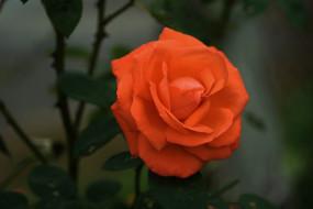 цветы, розы, персиковая, роза, макро