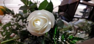 цветы, розы, белая, роза, бутон