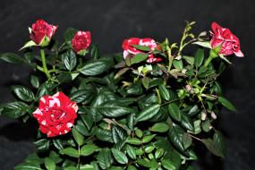 цветы, розы, куст, пестрые
