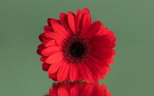 цветы, герберы, алая, гербера, макро