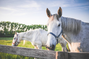 лошади, белые, пара, загон