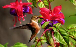 Колибри, Самая, Маленькая, Птица, В, Мире, Да, Само, Название, Птицы, Очень, Красивое, Королева, Нектара