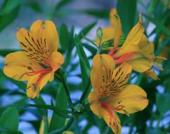 цветы, альстромерия, желтая