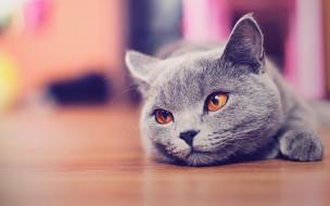 кот, серый, британец, пол