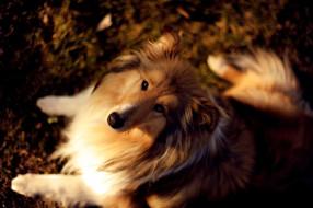 собака, колли, осень