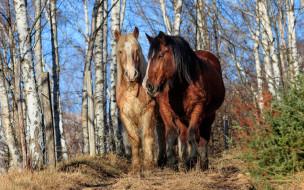 животные, лошади, пара, лес
