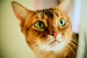 кот, рыжий, взгляд