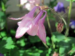 цветы, аквилегия , водосбор, розовая, аквиления