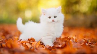 Котёнок, Пушистик, Комочек, Шерсти, Няшное, Существо, Да, И, Лучший, Друг, Человека, Мур, Мяу