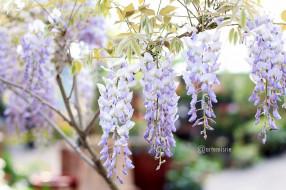 цветы, глициния, ветки