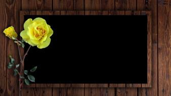 цветы, розы, желтая, роза