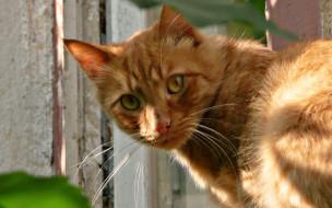 животные, коты, кот, рыжий, забор