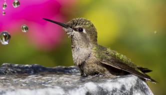 колибри, животные, самая, маленькая, птица, в, мире, да, само, название, птицы, очень, красивое, королева, нектара