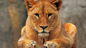 животные, львы, лев, взгляд