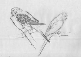 рисованное, животные,  птицы,  попугаи, попугаи, волнистые