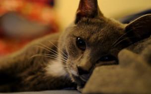животные, коты, кот, серый, отдых