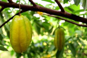 природа, плоды, карамбола