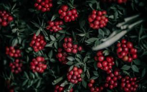 природа, ягоды, красные