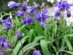 цветы, аквилегия , водосбор, лиловая, аквилегия, макро