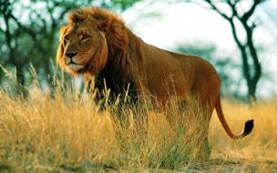 животные, львы, лев, трава