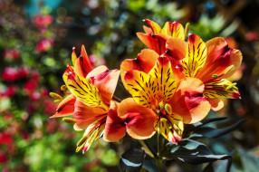 цветы, альстромерия, пестрая