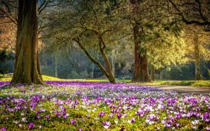 природа, парк, весна, крокусы