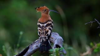 животные, удоды, коричневый, черная, птица, удод, стоит, на, ветке, дерево