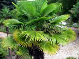 природа, деревья, пальма