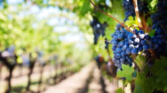 природа, ягоды,  виноград, виноград, гроздь