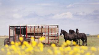 животные, лошади, вороные, повозка