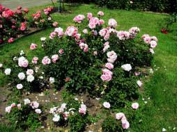 цветы, розы, розовые, куст