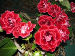 цветы, глоксиния , синнингия, розовая