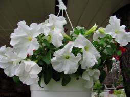 цветы, петунии,  калибрахоа, белая, петуния
