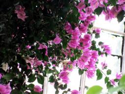 цветы, бугенвиллея, розовая, бугенвилея