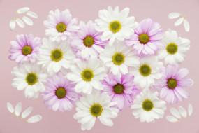 цветы, хризантемы, белые, розовые, лепестки