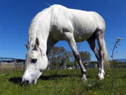 животные, лошади, лошадь, белая, пастбище