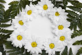 цветы, хризантемы, белые, композиция