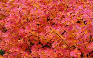 природа, листья, куст, капли