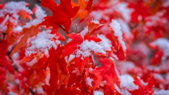 природа, листья, алые, снег