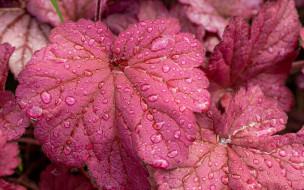 природа, листья, макро, капли