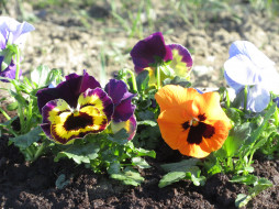 обои для рабочего стола 1920x1440 цветы, анютины глазки , садовые фиалки, анютины, глазки