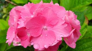 обои для рабочего стола 2548x1433 цветы, гортензия, розовая, макро, капли