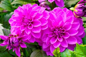 цветы, георгины, розовые