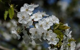 цветы, цветущие деревья ,  кустарники, весна, цветущая, яблоня