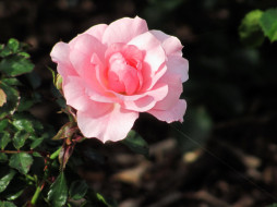 цветы, розы, розовая, роза
